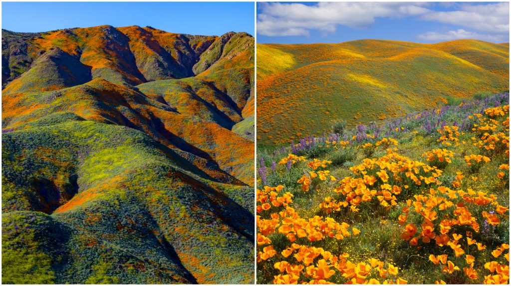 Wildflowers in a superbloom on a California hillside